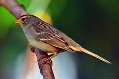 "Gold-crowned_Sparrow.02 (DonBantumPhotography.com) Tags: wildlife animals birds goldcrownedsparrow ""donbantumphotographycom"" ""donbantumcom"" ""nikon d7200"" ""afs nikkor 200500mm f56e ed vr"""