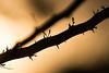 Algarrobo (Rodri Valdez) Tags: tree light contraste contrast bright brightness espinas pinches pinche wood madera árbol macro 70 400 mm sony alpha ssm g