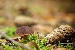 *** (pszcz9) Tags: przyroda nature natura grzyb mushroom szyszka cone zbliżenie closeup bokeh beautifulearth sony a77 jesień autumn fall