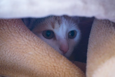 In here Khalid won't see me 👀 🐈 Hiding Camouflage Under The Blanket Animal Eye Animal Head  Portrait Looking Away Domestic Cat Animal Themes Cameleon Blending Cat Cats Cat Lovers Cat Lover Beautiful Beauty Love Those Eyes Yellow Eyes Pets Family (Achwaq Khalid) Tags: hiding camouflage undertheblanket animal eye animalhead portrait lookingaway domesticcat animalthemes cameleon blending cat cats catlovers catlover beautiful beauty love thoseeyes yelloweyes pets familypet portraiture catportrait