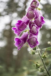 """Digitalis purpurea, una planta """"saludable"""" que se convirtió en venenosa"""