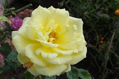 Rose (Gartenzauber) Tags: rosesforeveryone excellentsflowers thebestofmimamorsgroups flowerarebeautiful mixofflowers photosandcalendar exquisiteflowers greatshotss theoriginalgoldseal
