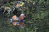 Mandarin Duck (AO'Brien) Tags: mandarin duck pheonix park dublin wildlife nature bird