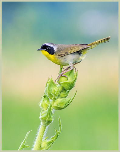 Common Yellowthroat on Compass Plantby Marcia Nye - Award Class A Prints - September 2017