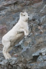 Dall Sheep Lamb (Outback Photo Adventures) Tags: dall sheep ewe lamb alaska ak canada yukon animal animals wildlife nature portrait rocks rock mountain run canon canon1dxmarkii 1dxmarkii 1dx 1dxii usa ca north america us