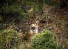 MT CONSTITUTION DEER (PHOTOGRAPHY|bydamanti) Tags: eastsound washington unitedstates us deer moranstatepark orcasisland animal