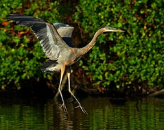 Great Blue Heron (KoolPix) Tags: greatblueheron heron bird water pond beak feathers koolpix jaykoolpix naturephotography nature wildlife wildlifephotos naturephotos naturephotographer animalphotographer wcswebsite nationalgeographic fantasticnature amazingnature wonderfulbirdphotos animal amazingwildlifephotos fantasticnaturephotos incrediblenature naturephotographywildlifephotography wildlifephotographer mothernature bif birdinflight heroninflight flying flight wings