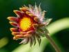 Thirst for the sun (Michal Hajek) Tags: nikon d5500 sigma105mm macro flower czphoto czechrepublic nature platinumheartaward