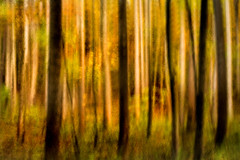 Fall Forest Swipe 3-0 F LR 10-27-17 J087 (sunspotimages) Tags: forest trees tree nature artistic artwork swipe forestswipe treeswipe treesswipe fall movement cameramovement