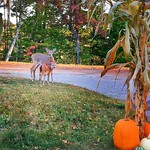 Saranac Lake - New York  ~  Fawn & Mother Deer ~  Prescott House B&B thumbnail