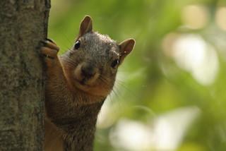 Squirrel, Morton Arboretum. 411 (EOS)