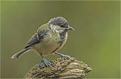 Great Tit (juvenile) (Charles Connor) Tags: greattits gardenbirds birdphotography tinybirds backyardbirds feathers backgroundblur blur bokeh canon100400lens canon7dmk11