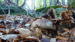 Boletus edulis (giansacca) Tags: funghi fungus fungo fungi mushrooms mushroom champignons pilz seta hongo ciuperci bolet cep boletusedulis porcino