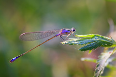 Another dragonfly (Unicorn.mod) Tags: 2017 colors macro nature dragonfly drops summer august beauty canoneos6d canonef100mm28lisusm insect