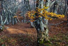 Cuando cada hoja es una flor (javipaper) Tags: otoño autum natura naturaleza tree colores bosque forest
