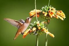Allen's Hummingbird (Life of David) Tags: california camarillo canon5dmarkiv selasphorussasin usa wildlife allenshummingbird backyard beautiful beauty bird hummingbird nature pretty world100f