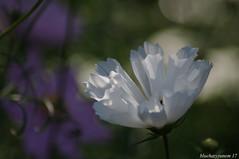 Cosmos Field #4 - Lighting Macro Mondays (bluehazyjunem) Tags: shell white cosmos pentaxk7 oofunaflowercenter park flower plant bright bokeh macro mondays macromondays lighting hmm