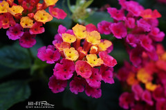 Lantana Confetti (Hi-Fi Fotos) Tags: lantana confetti ground cover spread bloom flower plant hardy colorful flora cluster pop nikkor 40mm micro nikon d7200 dx hififotos hallewell garden nature pink yellow red purple