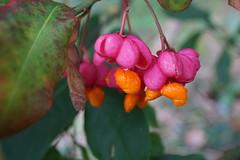 spindleberrries (quietpurplehaze07) Tags: spindleberries pink orange berries macro leaf bokeh