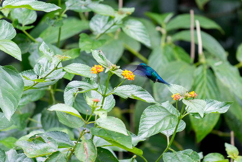 Kolibri, Waitukubuli National Park, Dominica