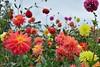 Dahlia Garden 2 (vmi63) Tags: flower capturenx2 nikondx35mmf18 nikond7100 pennsylvania kennettsquare longwoodgardens