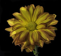 Mum's The Word (Bill Gracey 21 Million Views) Tags: chrysanthemum fleur flower flor color colorful nature naturalbeauty homestudio blackbackground macrolens offcameraflash yn560 yongnuo tabletopphotography yellow orange backlighting