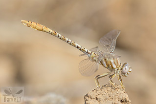 Faded Pincertail - Onychogomphus costae (Selys, 1885)