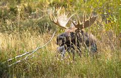 Resting Moose (Rick Derevan) Tags: wildlifemammal grandtetonnationalpark animals moose wilderness grandtetons mammal