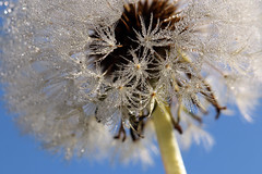 Delicately Decorated With Dew (gripspix (OFF)) Tags: 20171016 nature autumn herbst blowball pusteblume droplets tröpchen tau dew macro makro löwenzahn dandelion