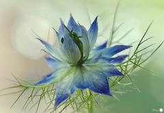 Love in a mist (Trayc99) Tags: flower delicate blue loveinamist nature floralart floral flowerphotography beautyinmacro beautyinnature beautiful bokeh macro