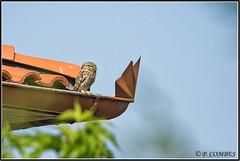 _DSC0030_Chevêche d'Athéna (patounet53) Tags: athenenoctua chevêchedathéna littleowl strigidés strigiformes bird oiseau