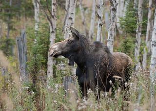 Orignal (femelle) - Moose