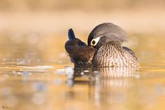 ''La Coquette!'' Canard barnchu- Wood duck (pascaleforest) Tags: oiseau bird animal nature nikon passion lumière automne fall eau water boke wild wildlife faune québec canada