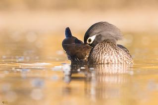 ''La Coquette!'' Canard barnchu- Wood duck