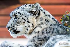 Snow Leopard (wells117) Tags: 2017 animal banhamzoo bigcat cat clivewells leopard mammal norfolk oct oct2017 snowpeopard spots zoo