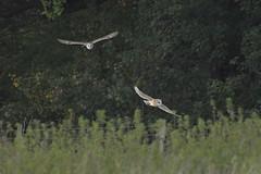 Two Barn Owls (Kentish Plumber) Tags: tytoalba barnowl owl raptor birdofprey bird kent wildlife nature nbw southeast england weald quartering hunting field countryside