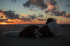 galli cadzand2 (cdandrifosse) Tags: galli saint bernard mer cadzand chien