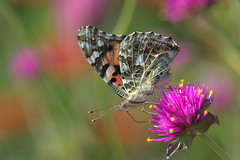 Bye bye Summer! (KsCattails) Tags: butterfly fall flower insect kscattails nature overlandparkarboretum paintedlady macro pink soft