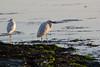 IMG_2603 (armadil) Tags: mavericks beach beaches californiabeaches bird birds egret snowyegret lowtide