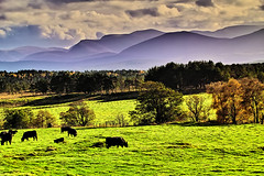 Pasture near Cairngorm (Fr Paul Hackett) Tags: field cows trees mountain sunshine autumn
