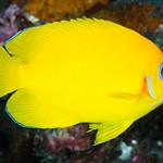 Lemonpeel Angelfish - Centropyge flavissimus thumbnail