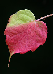 Celebrating My 10th Flickrversary (AnyMotion) Tags: 10thflickrversary reload japanesecreeper grapeivy dreispitzigejungfernrebe parthenocissustricuspidata leaf leaves blatt blätter laub autumncolours herbstfärbung 2007 anymotion nature natur garden frankfurt 20d canoneos20d colours colors farben red rot green grün autumn fall herbst automne otoño onblack