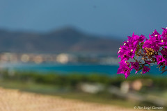 La caletta (pierluigi.carrano) Tags: fiore flower bokeh mare sea nikon d3100 iamnikon blue pink sardegna sardinia lacaletta