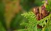 Cedar Cones (Keztik) Tags: plant cedar cones seed cèdre plante flore green vert d3200 nikon