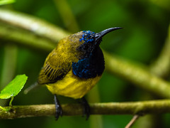 20171007-EM125986 (shutterblades) Tags: birds olivebackedsunbird olympusem1mkii olympusmzuiko300mmf4pro14tc riversafari singaporezoo