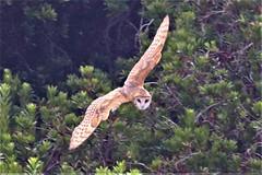Tyto alba Barn Owl (David A. Hofmann) Tags: bird bodegabay campbellcove california bodegaheadstatepark sonomacounty tytoalba barnowl holeinthehead