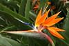 Bird of Paradise (david.england18) Tags: birdofparadise blue orange subtropical madeira sagapearlll cruiseship cruise canon1740mmf4lusm canon7d