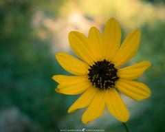 Common Beauty (MTD Photos) Tags: newmexico alpine bloom blossom flower macro mattdomonkos meadow nature petals wildflower yellow
