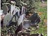 Cactus in Croatia - EXPLORE Oct. 12 2017 #394 (ARRRRT) Tags: cactus opuntiaficus barbary barbaryfig hum