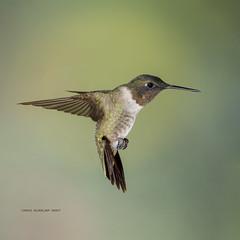 Ruby-throated in form (rickdunlap2) Tags: archilochuscolubris rubythroatedhummingbird hummingbird bird animal wildlife migration richmond texas usa